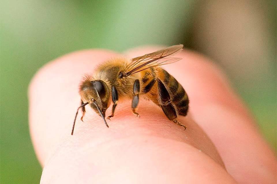 Апитерапия (лечение пчелами), в чем польза для организма