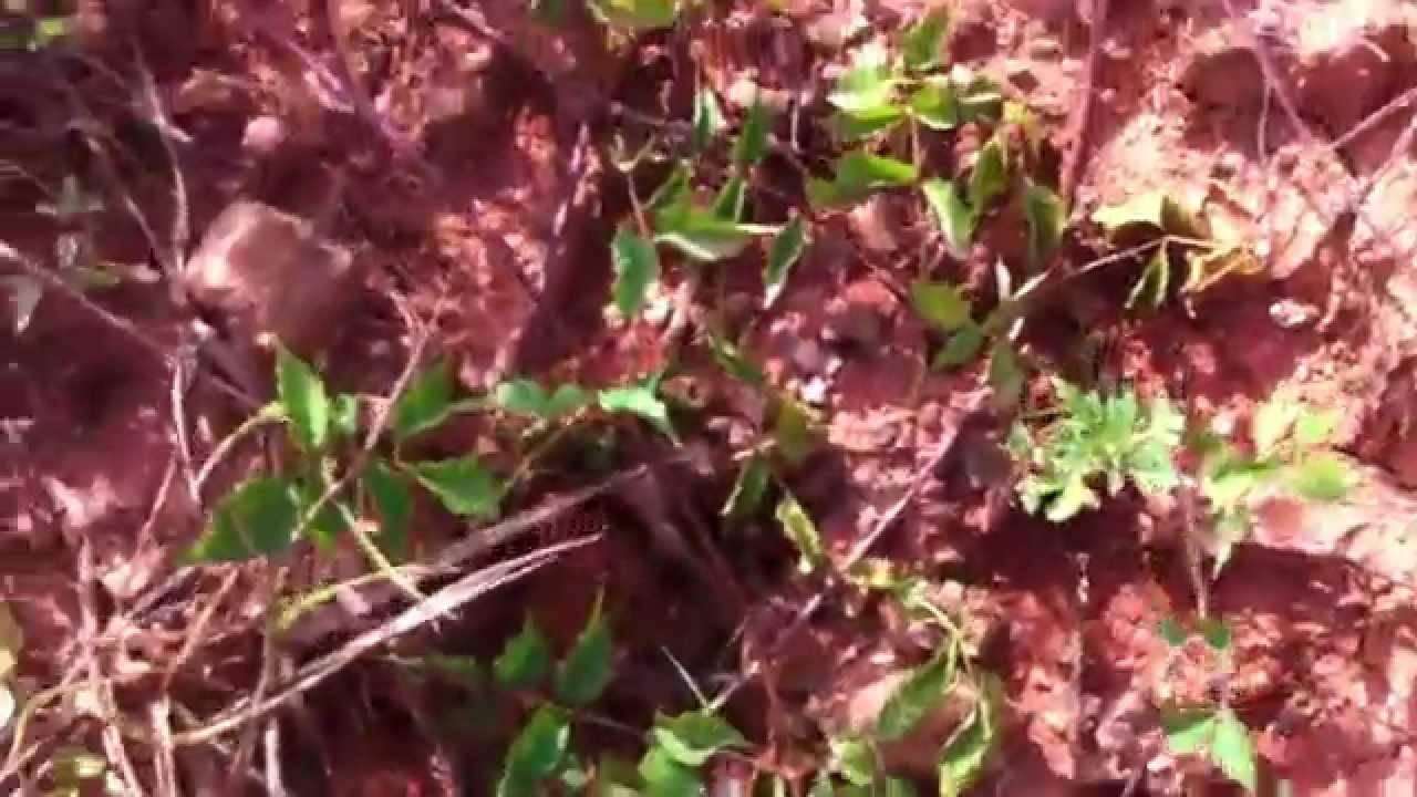 Муравей-листорез: необыкновенные муравьи-фермеры