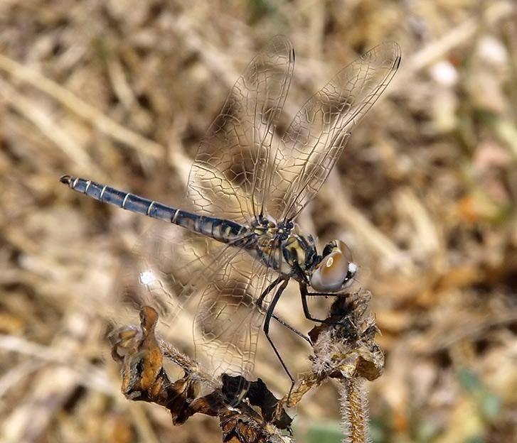 Желтая стрекоза – частая гостья озер и болот