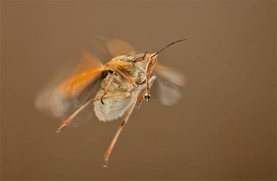 Есть ли у клопов крылья, умеют ли они летать
