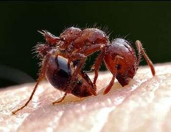 Опасны ли укусы муравьев?