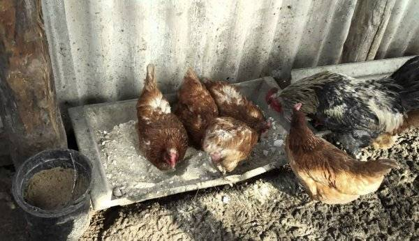 Чем лечить пероед у кур?