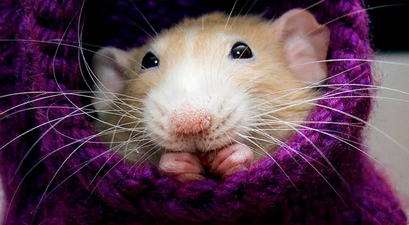 Сколько лет обычно живут крысы?