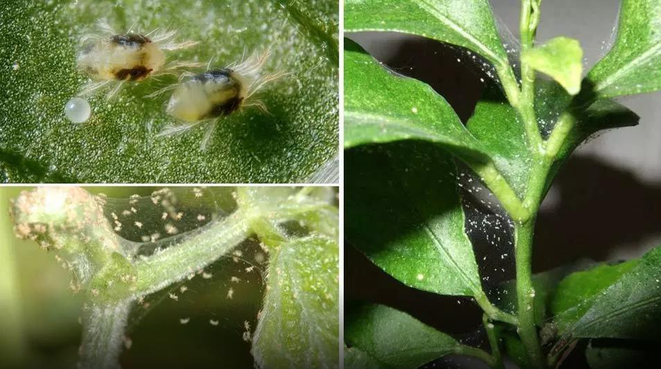 Комнатный паутинный клещ на розе, особенности паразита, как бороться