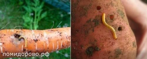 Как избавиться от проволочника на огороде