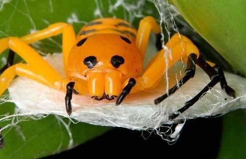 Черный паук с желтой полосой на спине. паук-оса – ядовитое насекомое с яркой внешностью