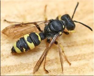 Подробно о жале осы и его применении
