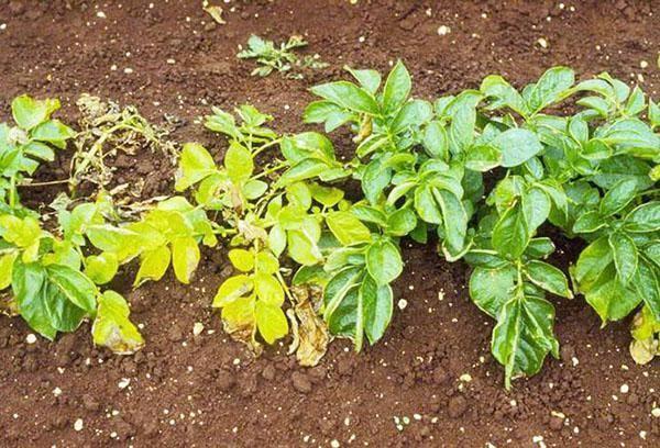 Что такое картофельная нематода и как с ней бороться