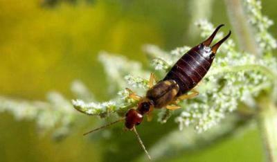 Двухвостка или уховёртка: чем опасна для человека и как избавиться от членистоногого насекомого