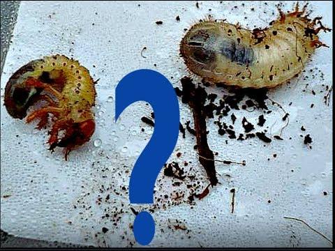 Личинка медведки: все, что нужно знать садоводу. фото и описание методов борьбы