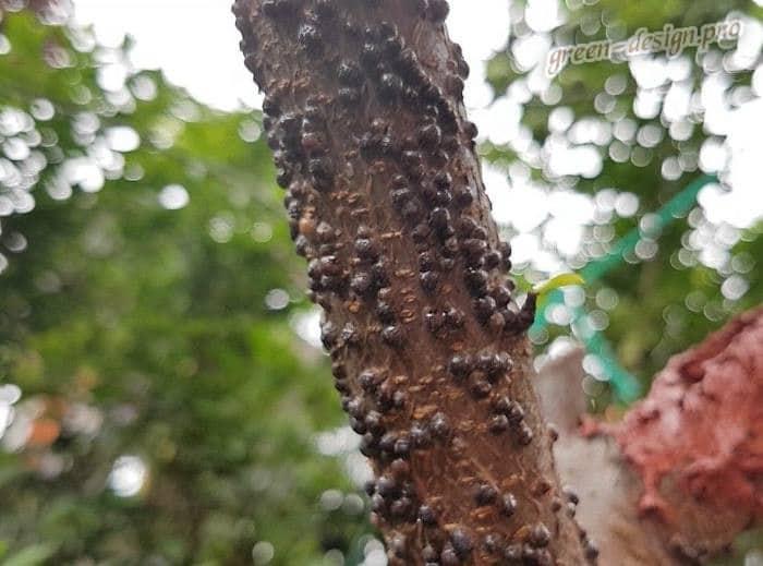 Топ-5 вредителей хвойных растений