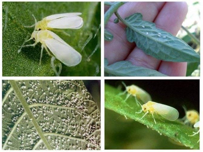 Белокрылка на огурцах: как спасти растение
