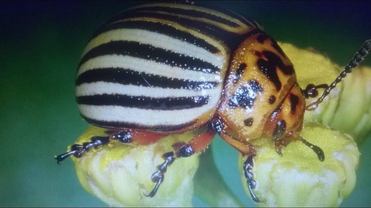 Горчица от колорадского жука, как домашний метод борьбы