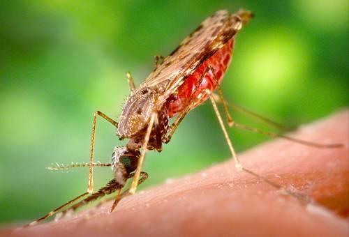 Малярийный комар — опасный переносчик паразитов