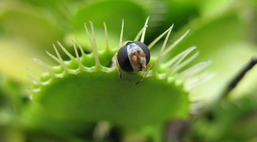Комнатные растения, поедающие мух