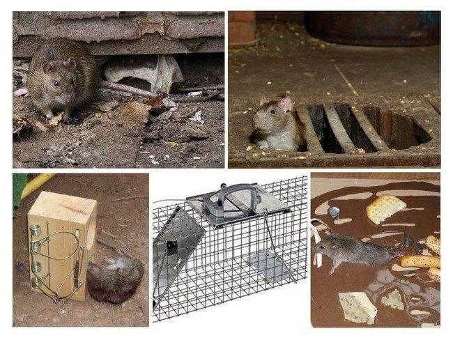 Домашнему мастеру: как поймать крысу в домашних условиях
