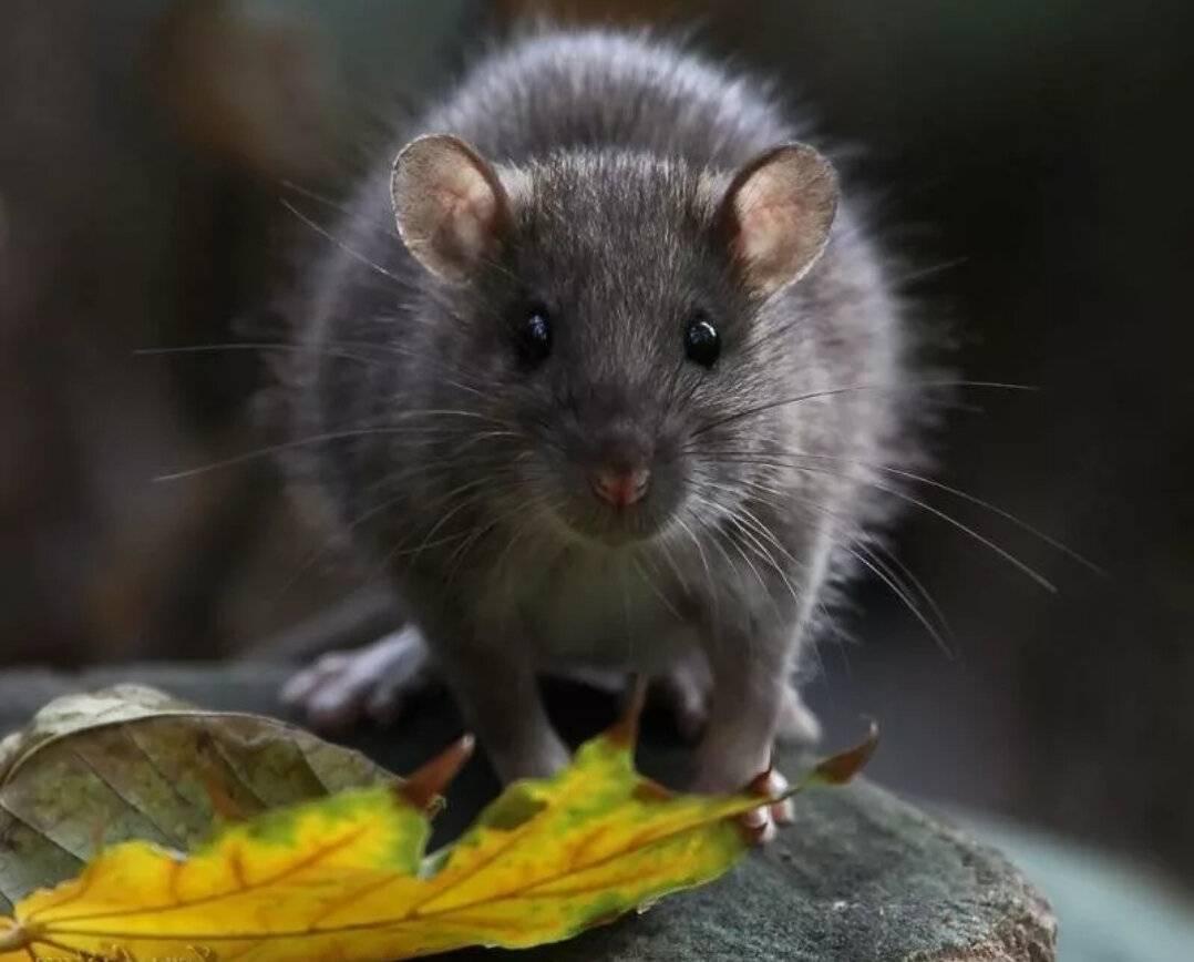 Может ли крыса напасть на человека — чем опасны укусы крысы. могут ли крысы напасть на человека
