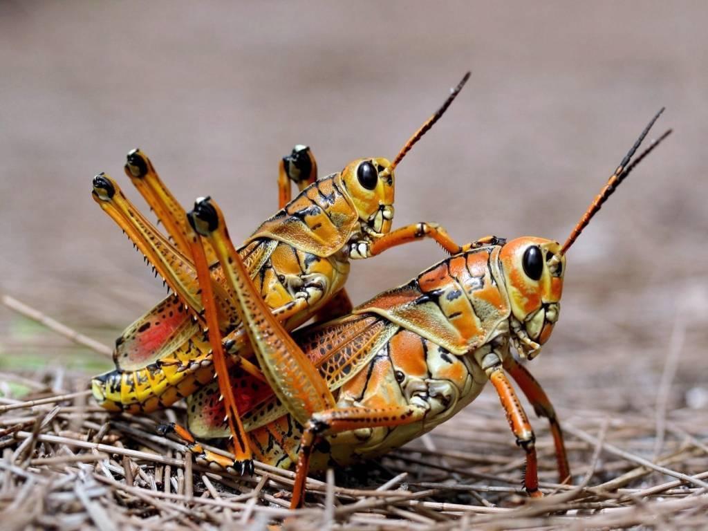 Мелодичный звук сверчка, или музыкальные способности насекомого. сверчок домовой (домашний сверчок) – усатый музыкант