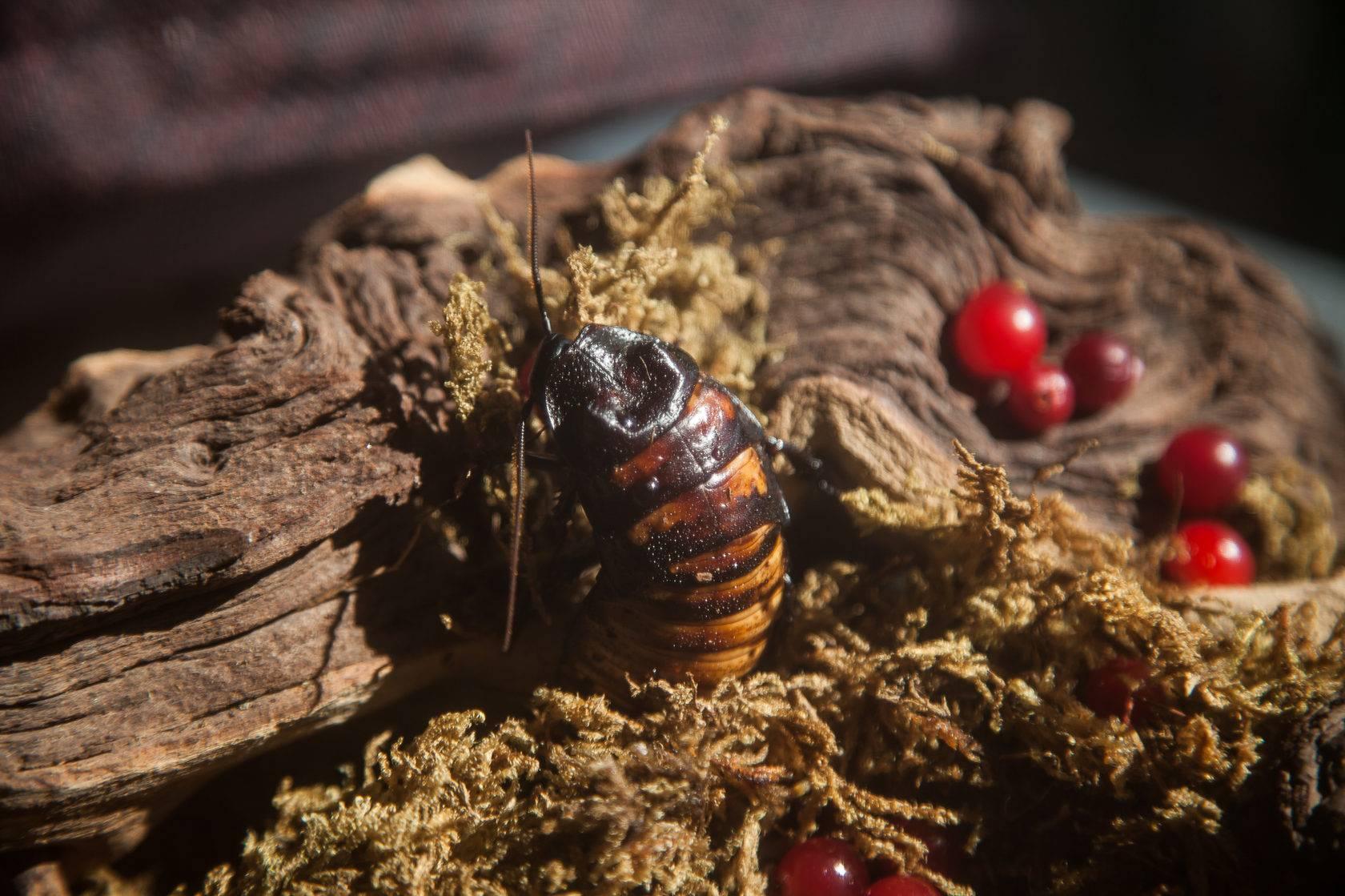 Мадагаскарские шипящие тараканы и их содержание в домашних условиях