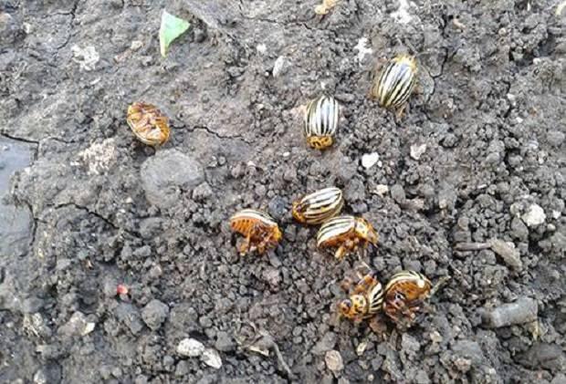 Откуда взялся колорадский жук. как и когда появился колорадский жук в россии