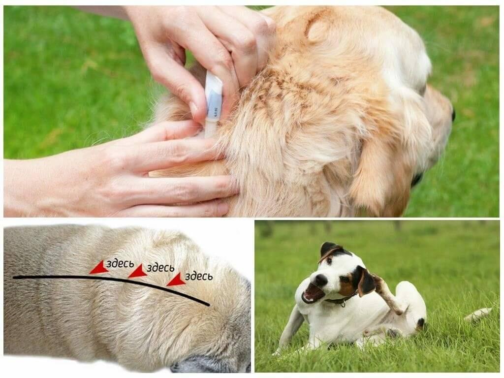 Чем обработать собаку от комаров и мошек. что делать, если собаку покусали комары и мошки. что делать, если собаку уже укусила мошка