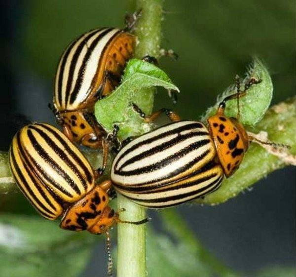 Средство табу от колорадского жука