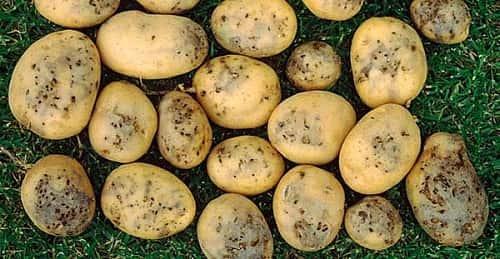 Как бороться с проволочником в картофеле?