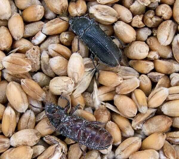 Описания, названия и фото черных жуков в доме или квартире