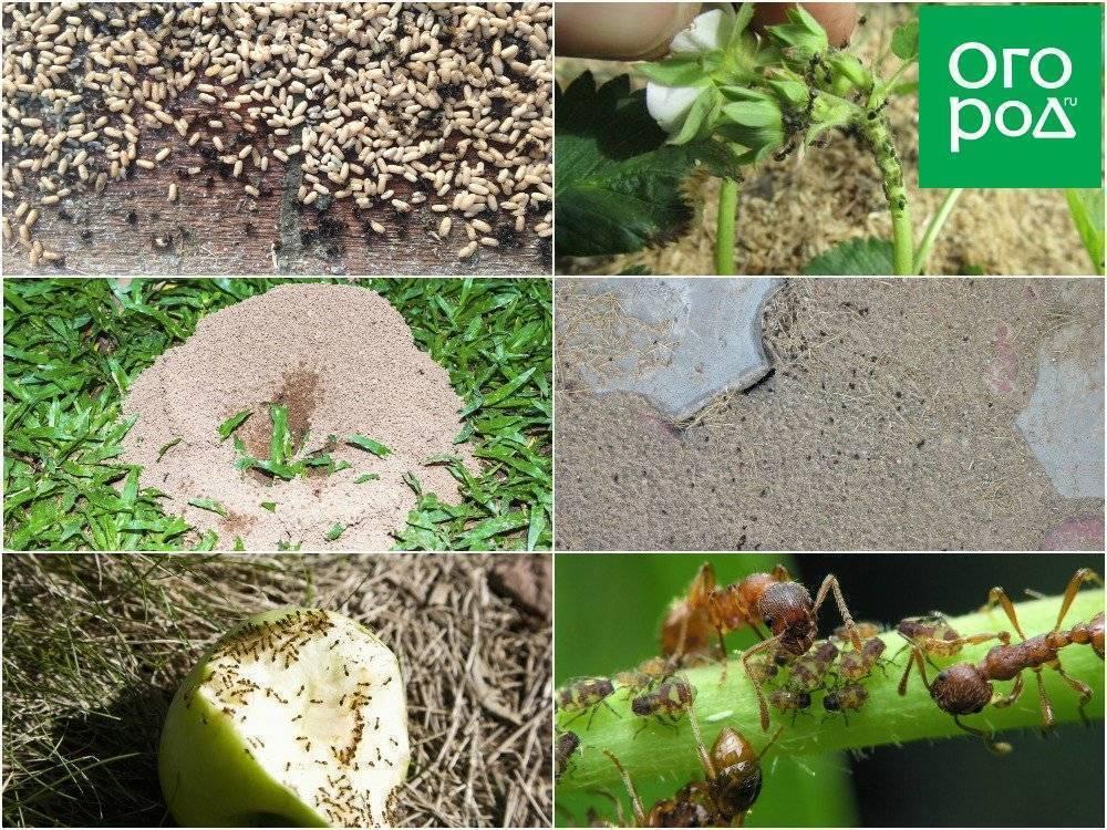 Все народные средства против муравьев