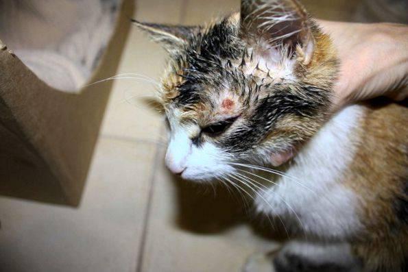 Лечение ушных клещей у котов в домашних условиях