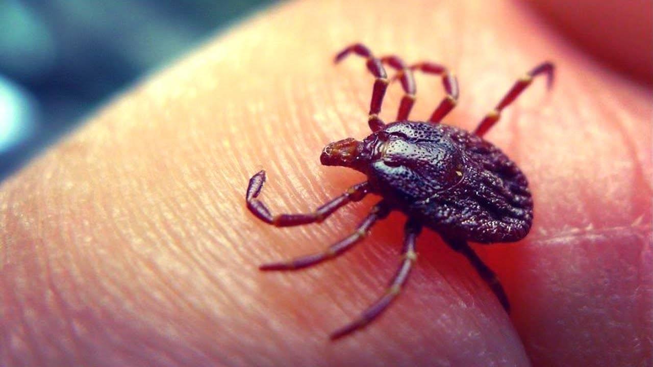 10 безопасных способов, как вытащить клеща из тела человека в домашних условиях