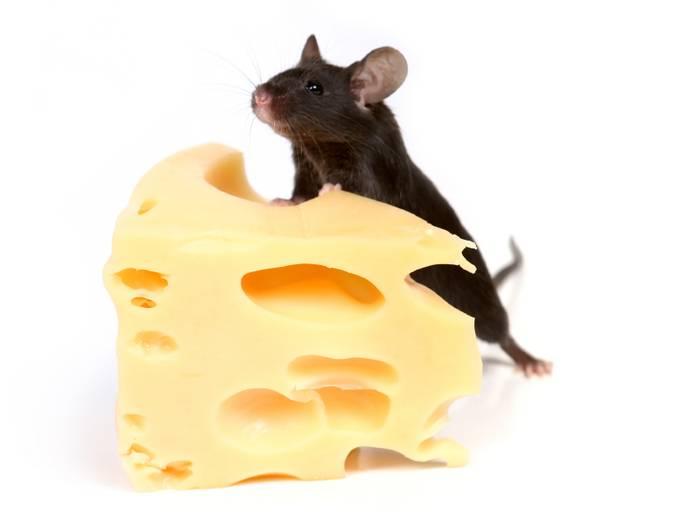 Домашняя экзотика: правила ухода за японской мышью