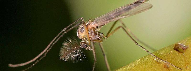 Что представляют комары-звонцы (дергуны) и опасен ли насекомый