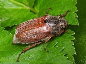 Превентивные меры или как бороться с майским жуком на участке и клубнике?
