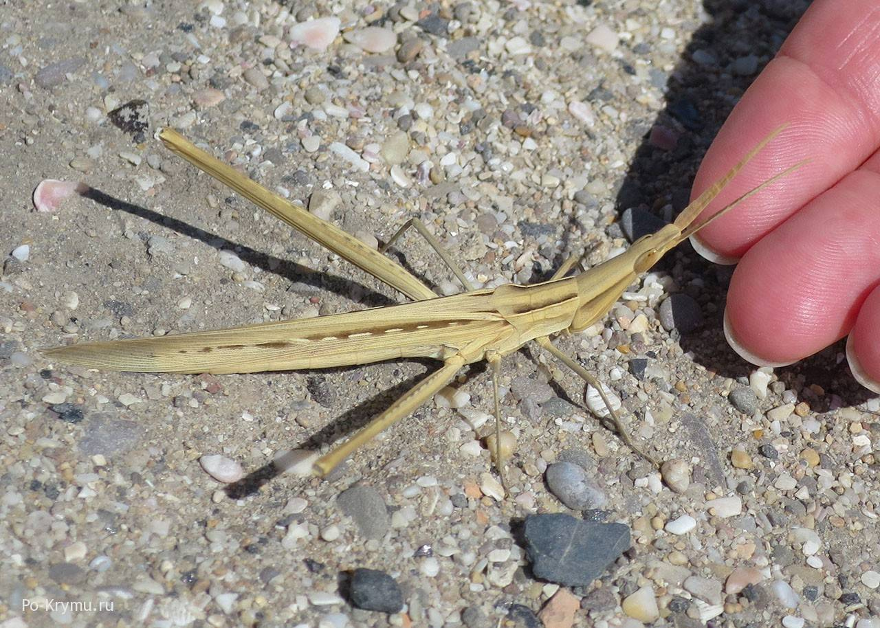 Дыбка степная: образ жизни и размножение хищного кузнечика. дыбка степная что ест кузнечик в степи