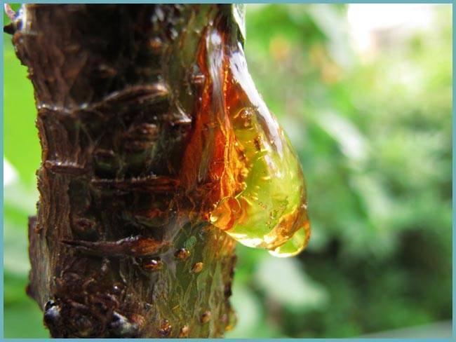 Ненасытные вредители персика: как бороться с ними и выиграть войну