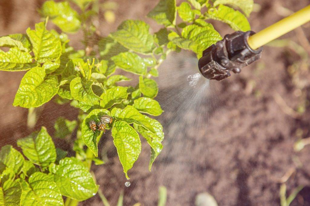 Инструкция по применению препарата от колорадского жука регент