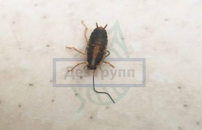 Что едят домашние тараканы: любимая пища и особенности питания