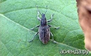 Ростковая муха — частый гость на помидорах, как бороться?