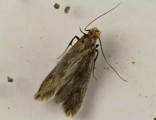 Моль – что нужно знать о насекомом. уничтожаем вредителя народными средствами