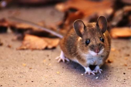 Могут ли мыши повредить пенопласт?