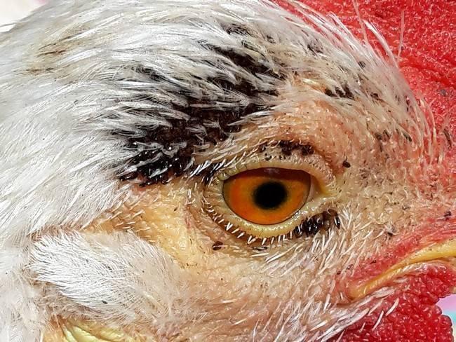 Бывают ли у попугаев блохи? симптомы и лечение как у волнистых, так и у остальных разновидностей