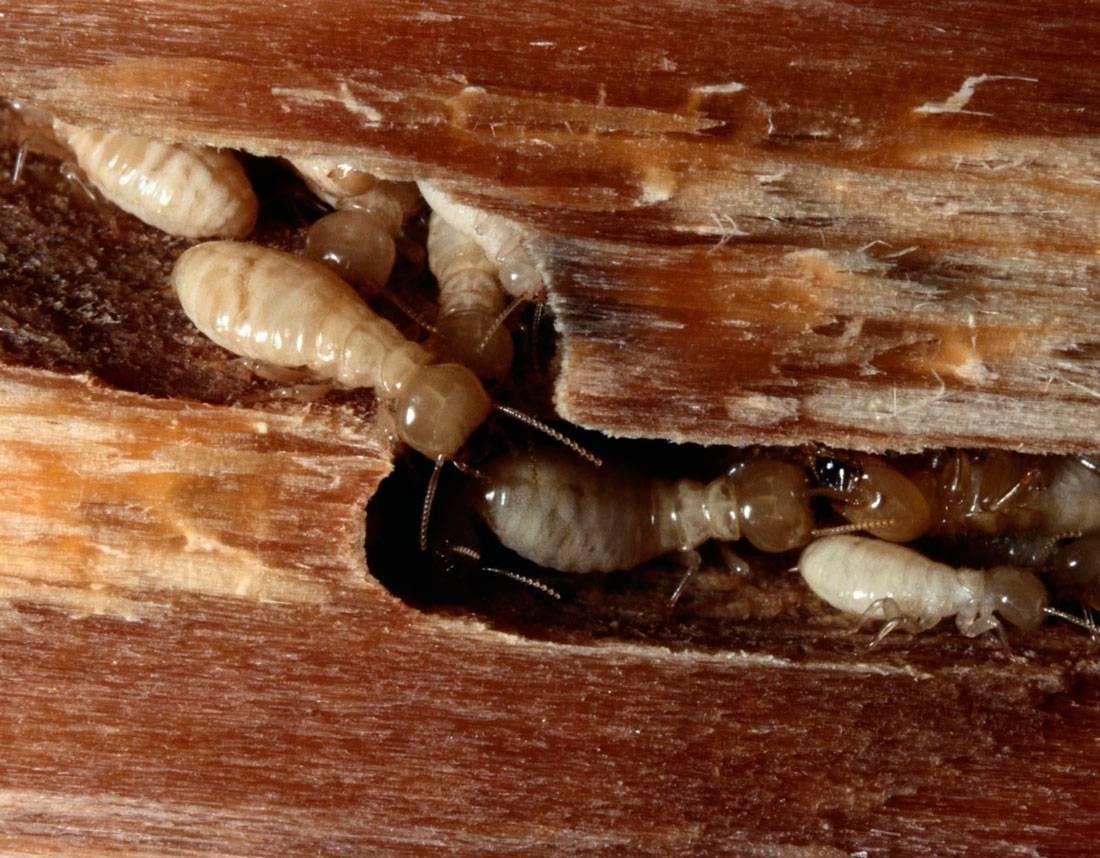 Как бороться с термитами на даче. методы борьбы с термитами в доме