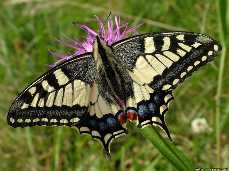 Мир насекомых. бабочки. махаон. выполнила: ученица 1 «а» класса моу «сош» 51 орлова юлия учитель: солодовникова с.н. - презентация