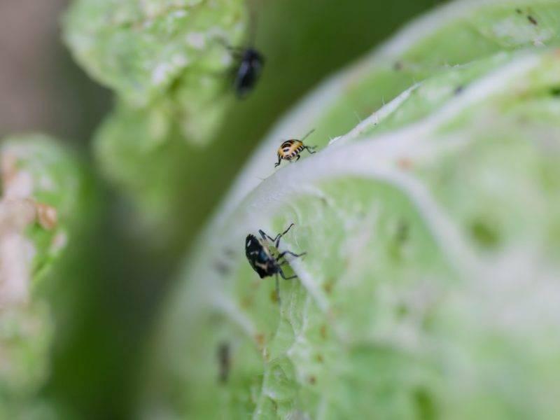 Активная борьба с капустным клопом