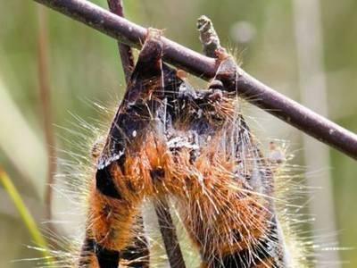 Кукурузный мотылек – опасный вредитель на поле и в огороде