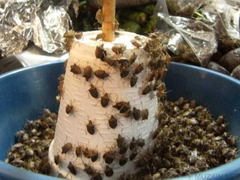 Самая жуткая еда из насекомых