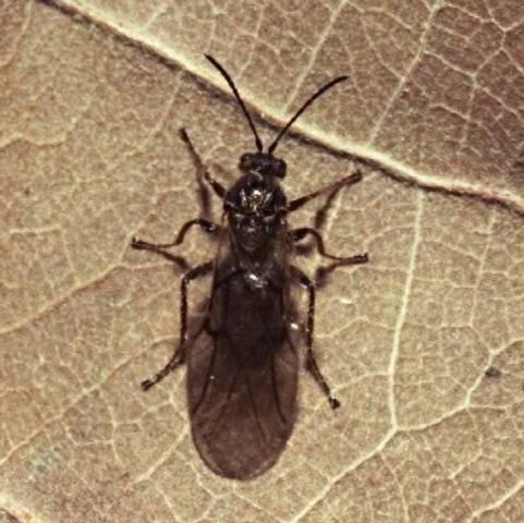 Малинная стеблевая муха: как уберечь урожай?