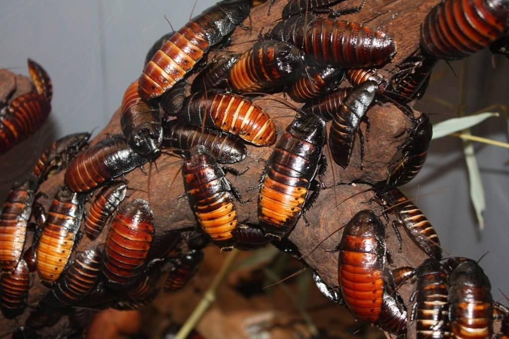 Разновидности тараканов, образ жизни, среда обитания и поведение