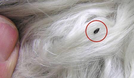 Что делать, если собаку покусали комары и мошки. укусы комара у собаки что можно собакам намазать от мошек